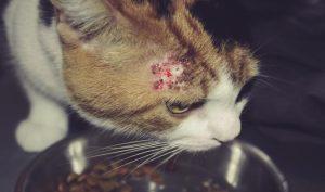 Feline allergic disease