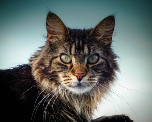 maine-coon-cat-2228866_1920